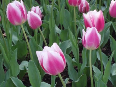 tulipfair2.JPG